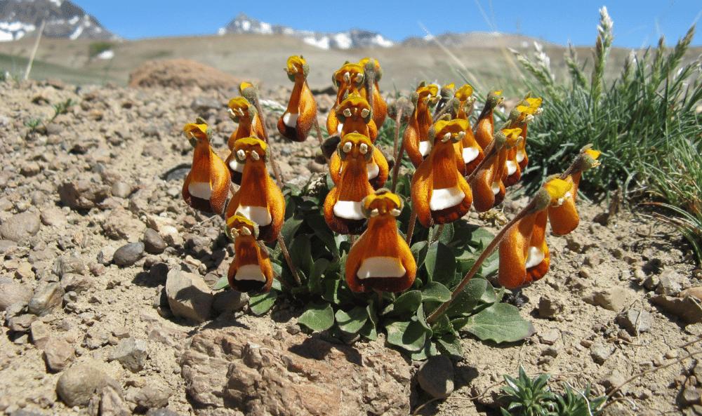 Calceolaria uniflora M.F.