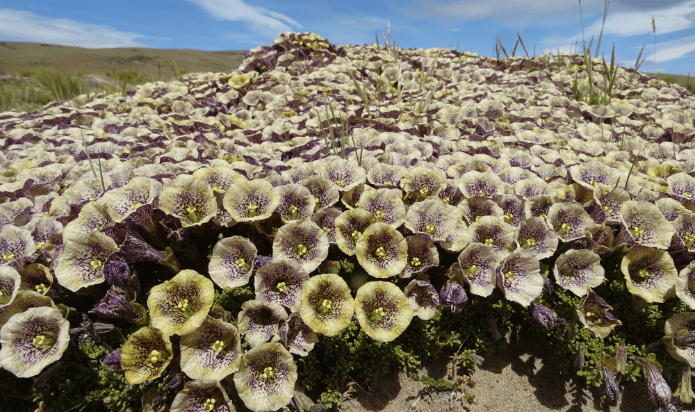 08 Petunia patagonica (2)