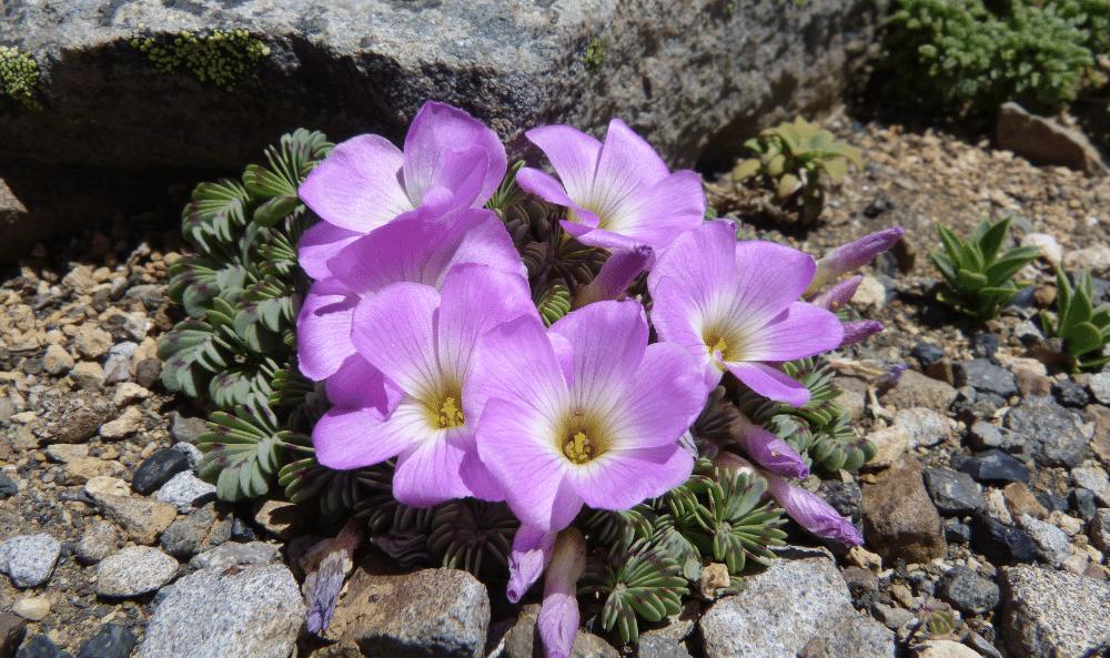07 Oxalis adenophylla Cuye colorado o rosado (3)
